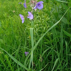 Plant form: Tradescantia ohiensis. ~ By Charles Peirce. ~ Copyright © 2020 Charles Peirce. ~ http://www.carsoncity.k12.mi.us/~hsstudent/wildflowers00/index.html ~ U. of Michigan Herbarium - herbarium.lsa.umich.edu/