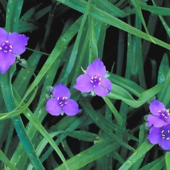 Flowers: Tradescantia virginiana. ~ By Arieh Tal. ~ Copyright © 2020 Arieh Tal. ~ http://botphoto.com/ ~ Arieh Tal - botphoto.com