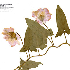 Flowers: Calystegia pubescens. ~ By CONN Herbarium. ~ Copyright © 2020 CONN Herbarium. ~ Requests for image use not currently accepted by copyright holder ~ U. of Connecticut Herbarium - bgbaseserver.eeb.uconn.edu/