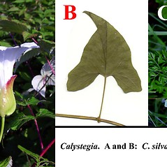Comparison: Calystegia silvatica. ~ By Arthur Haines. ~ Copyright © 2021. ~ arthurhaines[at]wildblue.net