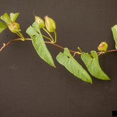 Fruits: Calystegia silvatica. ~ By Ohio State Weed Lab. ~ Copyright © 2020 CC BY-NC 3.0. ~  ~ Bugwood - www.bugwood.org/