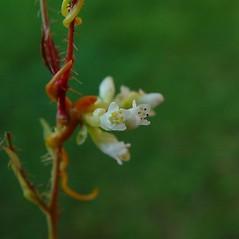 Flowers: Cuscuta cephalanthi. ~ By Arthur Haines. ~ Copyright © 2021. ~ arthurhaines[at]wildblue.net