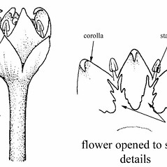 Flowers: Cuscuta coryli. ~ By Southern Illinois University Press. ~ Copyright © 2021 Southern Illinois University Press. ~ Requests for image use not currently accepted by copyright holder ~ Mohlenbrock, Robert H. 1981. The Illustrated Flora of Illinois, Flowering Plants, magnolias to pitcher plants. Southern Illinois U. Press, Carbondale and Edwardsville, IL. 288pp.