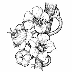 Flowers: Cuscuta gronovii. ~ By Elizabeth Farnsworth. ~ Copyright © 2021 New England Wild Flower Society. ~ Image Request, images[at]newenglandwild.org