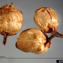 Fruits: Cuscuta gronovii. ~ By Julia Scher. ~ Copyright © 2021 CC BY-NC 3.0. ~  ~ Bugwood - www.bugwood.org/