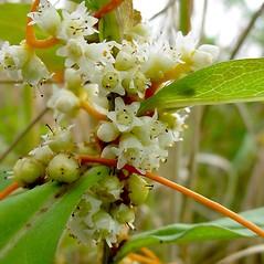 Flowers: Cuscuta gronovii. ~ By Glen Mittelhauser. ~ Copyright © 2019 Glen Mittelhauser. ~ www.mainenaturalhistory.org