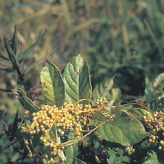Plant form: Cuscuta gronovii. ~ By Frank Bramley. ~ Copyright © 2019 New England Wild Flower Society. ~ Image Request, images[at]newenglandwild.org