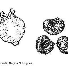 Fruits: Cuscuta indecora. ~ By Regina O. Hughes. ~  Public Domain. ~  ~ Reed, C.F. 1970. Selected weeds of the United States. USDA Agric. Res. Ser. Agric. Handbook 336