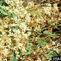 Plant form: Cuscuta indecora. ~ By USDA APHIS PPQ. ~ Copyright © 2021 CC BY-NC 3.0. ~  ~ Bugwood - www.bugwood.org/