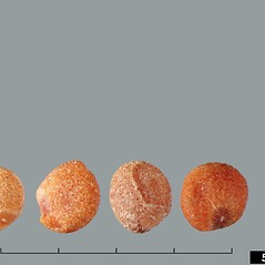 Fruits: Cuscuta pentagona. ~ By Julia Scher. ~ Copyright © 2020 CC BY-NC 3.0. ~  ~ Bugwood - www.bugwood.org/