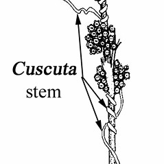 Stems: Cuscuta polygonorum. ~ By Southern Illinois University Press. ~ Copyright © 2020 Southern Illinois University Press. ~ Requests for image use not currently accepted by copyright holder ~ Mohlenbrock, Robert H. 1981. The Illustrated Flora of Illinois, Flowering Plants, magnolias to pitcher plants. Southern Illinois U. Press, Carbondale and Edwardsville, IL. 288pp.