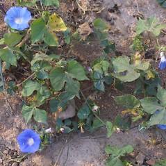 Plant form: Ipomoea hederacea. ~ By Steven Baskauf. ~ Copyright © 2020 CC-BY-NC-SA. ~  ~ Bioimages - www.cas.vanderbilt.edu/bioimages/frame.htm