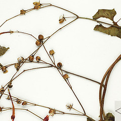 Fruits: Ipomoea hederifolia. ~ By William and Linda Steere and the C.V. Starr Virtual Herbarium. ~ Copyright © 2020 William and Linda Steere and the C.V. Starr Virtual Herbarium. ~ Barbara Thiers, Director; bthiers[at]nybg.org ~ C.V. Starr Herbarium - NY Botanical Gardens