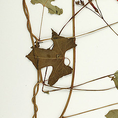 Stems: Ipomoea hederifolia. ~ By William and Linda Steere and the C.V. Starr Virtual Herbarium. ~ Copyright © 2020 William and Linda Steere and the C.V. Starr Virtual Herbarium. ~ Barbara Thiers, Director; bthiers[at]nybg.org ~ C.V. Starr Herbarium - NY Botanical Gardens