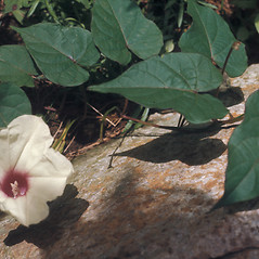 Flowers: Ipomoea pandurata. ~ By Lawrence Newcomb. ~ Copyright © 2021 New England Wild Flower Society. ~ Image Request, images[at]newenglandwild.org