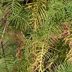 Leaves: Ipomoea quamoclit. ~ By John Gwaltney. ~ Copyright © 2021 John Gwaltney. ~ southeasternflora.com ~ Southeastern Flora - www.southeasternflora.com/