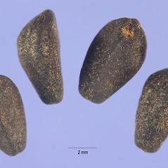 Fruits: Ipomoea tricolor. ~ By Steve Hurst. ~  Public Domain. ~  ~ USDA-NRCS Plants Database - plants.usda.gov/java/