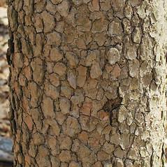 Bark: Benthamidia florida. ~ By Alexey Zinovjev. ~ Copyright © 2020. ~ webmaster[at]salicicola.com ~ Salicicola - www.salicicola.com/