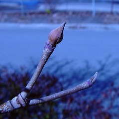 Winter buds: Benthamidia japonica. ~ By Arthur Haines. ~ Copyright © 2021. ~ arthurhaines[at]wildblue.net