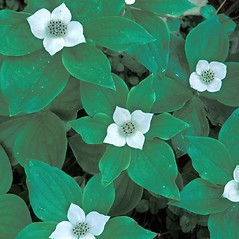 Plant form: Chamaepericlymenum canadense. ~ By Hal Horwitz. ~ Copyright © 2020 New England Wild Flower Society. ~ Image Request, images[at]newenglandwild.org