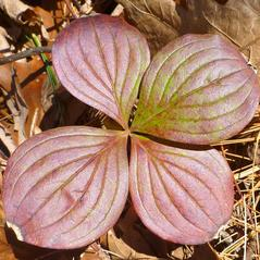 Leaves: Chamaepericlymenum canadense. ~ By Dawn Dentzer. ~ Copyright © 2020. ~ dawndentzer[at]gmail.com