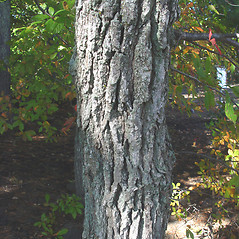 Bark: Nyssa sylvatica. ~ By Donald Cameron. ~ Copyright © 2020 Donald Cameron. ~ No permission needed for non-commercial uses, with proper credit