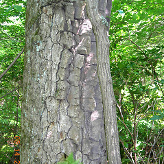 Bark: Nyssa sylvatica. ~ By Vermont Nongame & Natural Heritage Program. ~ Copyright © 2020 Vermont Nongame & Natural Heritage Program. ~ Bob.Popp[at]state.vt.us ~ Vt Nongame & Natural Heritage Program