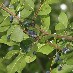 Fruits: Nyssa sylvatica. ~ By Arieh Tal. ~ Copyright © 2020 Arieh Tal. ~ http://botphoto.com/ ~ Arieh Tal - botphoto.com