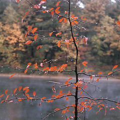 Plant form: Nyssa sylvatica. ~ By Frank Bramley. ~ Copyright © 2020 New England Wild Flower Society. ~ Image Request, images[at]newenglandwild.org
