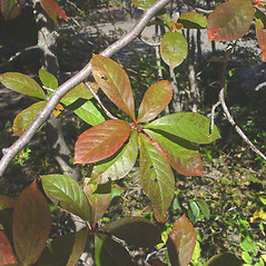 Leaves: Nyssa sylvatica. ~ By Donald Cameron. ~ Copyright © 2020 Donald Cameron. ~ No permission needed for non-commercial uses, with proper credit