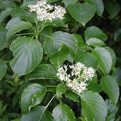 Flowers: Swida alternifolia. ~ By Donna Kausen. ~ Copyright © 2021 Donna Kausen. ~ 33 Bears Den, Addison, ME 04606
