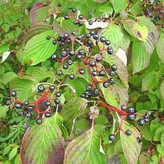 Fruits: Swida alternifolia. ~ By Donna Kausen. ~ Copyright © 2021 Donna Kausen. ~ 33 Bears Den, Addison, ME 04606