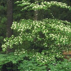 Plant form: Swida alternifolia. ~ By Bruce Patterson. ~ Copyright © 2021 Bruce Patterson. ~ foxpatterson[at]comcast.net