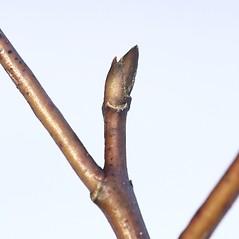 Winter buds: Swida alternifolia. ~ By Arieh Tal. ~ Copyright © 2021 Arieh Tal. ~ http://botphoto.com/ ~ Arieh Tal - botphoto.com