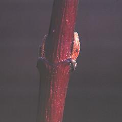 Winter buds: Swida amomum. ~ By Carol Levine. ~ Copyright © 2020 Carol Levine. ~ carolflora[at]optonline.net
