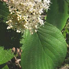 Flowers: Swida rugosa. ~ By Marilee Lovit. ~ Copyright © 2021 Marilee Lovit. ~ lovitm[at]gmail.com