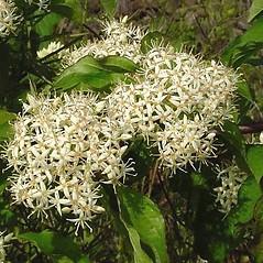 Flowers: Swida sanguinea. ~ By Leo Michels. ~  Public Domain. ~  ~ Imagines Plantarum - www.imagines-plantarum.de/
