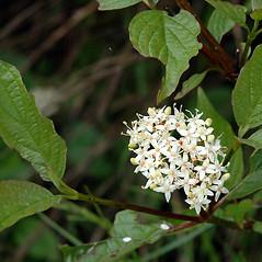 Flowers: Swida sericea. ~ By Ben Kimball. ~ Copyright © 2021 Ben Kimball. ~ alpinefin[at]comcast.net