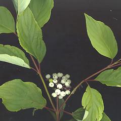 Leaves: Swida sericea. ~ By Glen Mittelhauser. ~ Copyright © 2020 Glen Mittelhauser. ~ www.mainenaturalhistory.org
