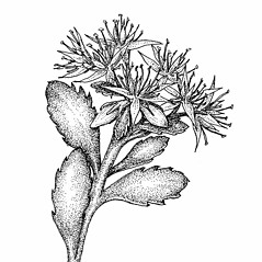 Flowers: Aizopsis kamtschatica. ~ By Elizabeth Farnsworth. ~ Copyright © 2021 New England Wild Flower Society. ~ Image Request, images[at]newenglandwild.org