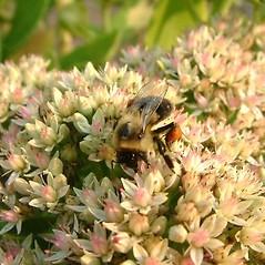 Flowers: Hylotelephium spectabile. ~ By Louis-M. Landry. ~ Copyright © 2021 Louis-M. Landry. ~ LM.Landry[at]videotron.ca  ~ CalPhotos - calphotos.berkeley.edu/flora/