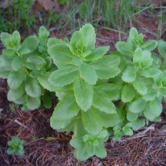 Plant form: Hylotelephium telephium. ~ By Arthur Haines. ~ Copyright © 2021. ~ arthurhaines[at]wildblue.net