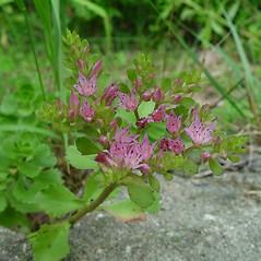 Flowers: Phedimus spurius. ~ By Arthur Haines. ~ Copyright © 2020. ~ arthurhaines[at]wildblue.net