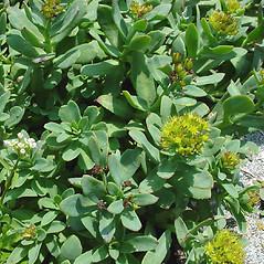 Leaves: Rhodiola rosea. ~ By Glen Mittelhauser. ~ Copyright © 2021 Glen Mittelhauser. ~ www.mainenaturalhistory.org