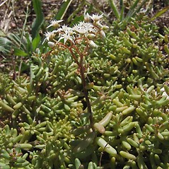 Plant form: Sedum album. ~ By Paul Busselen . ~ Copyright © 2020 Paul Busselen . ~ No permission necessary; any use permitted ~ Plant Guide, Biology Department, Katholieke Universiteit Leuven, Campus Kortrijk