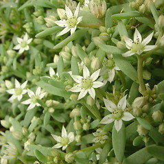 Flowers: Sedum hispanicum. ~ By Glen Mittelhauser. ~ Copyright © 2020 Glen Mittelhauser. ~ www.mainenaturalhistory.org