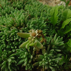 Leaves: Sedum hispanicum. ~ By Glen Mittelhauser. ~ Copyright © 2020 Glen Mittelhauser. ~ www.mainenaturalhistory.org