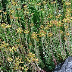 Plant form: Sedum ochroleucum. ~ By Paul S. Drobot. ~ Copyright © 2020 Paul S. Drobot. ~ www.plantstogrow.com, www.plantstockphotos.com ~ Robert W. Freckmann Herbarium, U. of Wisconsin-Stevens Point