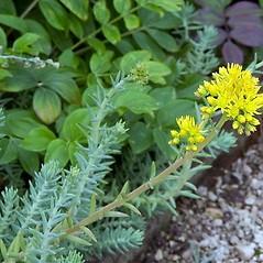 Flowers: Sedum reflexum. ~ By Paul S. Drobot. ~ Copyright © 2020 Paul S. Drobot. ~ www.plantstogrow.com, www.plantstockphotos.com ~ Robert W. Freckmann Herbarium, U. of Wisconsin-Stevens Point