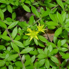 Flowers: Sedum sarmentosum. ~ By Arthur Haines. ~ Copyright © 2020. ~ arthurhaines[at]wildblue.net